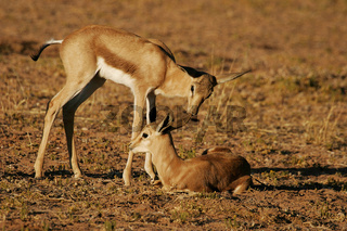 young springbok duo