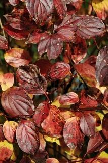 Roter Hartriegel, Cornus sanguinea