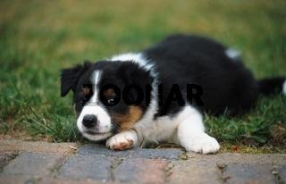 Australian Shepherd x Border Collie, Canis lupus familiaris, domestic dog