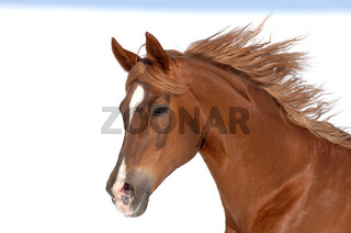 Russisches Vollblutpferd, Russian Thouroghbred, Vollblutaraber, russian arabian thoroughbred