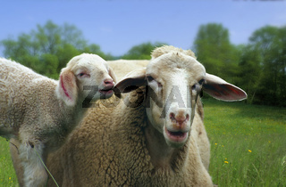 Domestic Sheep / Hausschaf