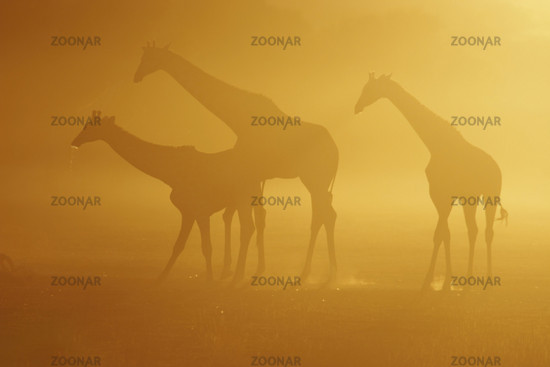 Giraffe trio drinkind at sunrise