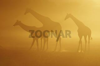 Giraffe trio drinkind at sunrise