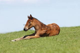 Traber, Trotter Horse, Trotterhorse, Pacer, Standardbred Horse, Racing Horse, Traberfohlen, Foal
