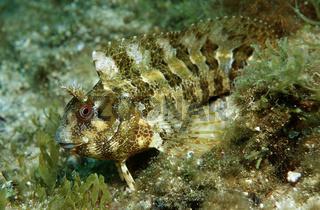 Geweihschleimfisch