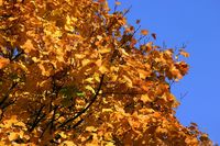 Yellow tree leaves under the blue sky of Autumn.