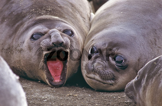 suedlicher See-Elefant, Jungtiere, Bertrab Gletscher,  southern elelphant seal, mirounga leonina, Gold Harbor, Insel Suedgeorgien, Antarkti