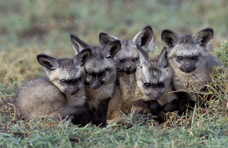 Bat-eared fox, Löffelhund,