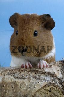Guinea Pig / Meerschweinchen
