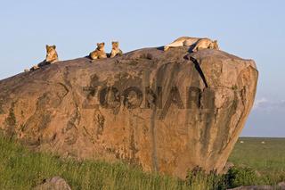 Lion (Phantera leo)