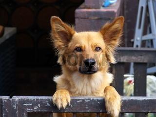 Wachsamer Hund