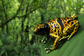 Yellow-banded Poison Arrow Frog / Pfeilgiftfrosch