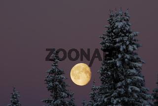 verschneite Baeume mit Mond