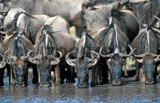 Gnus am Mara-Fluss Wildebeest in the mara river