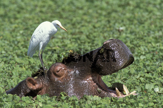 Hippopotamus, Flusspferd