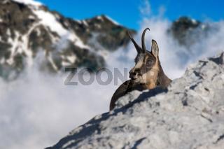 Gemse, Rupricapra rupicapra, Alpen, Österreich
