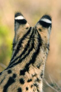 Serval, Felis Serval, Leptailurus serval