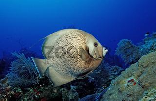 Gray angelfish, Pomacanthus arcuatus, Bahamas, Atlantic Ocean