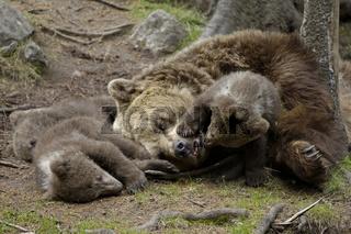 Braunbaer mit Jungen Brown Bear with cubs