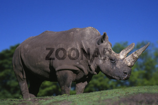 Wide-mouthed Rhinoceros / Breitmaulnashorn / Weisses Nashorn