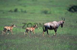 Topi-Antilope