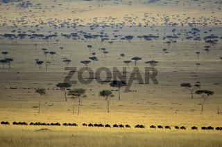 Wildebeest, Migration,