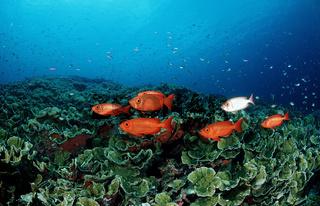 Schwarm Großaugenbarsche, Priacanthus hamrur, Schooling Crescent-tail bigeyes, Indischer Ozean, Sulawesi