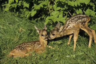 Reh / Capreolus capreolus / Roe Deer