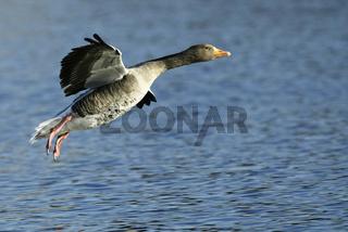 Graugans, Anser anser, Greylag Goose, Europe, Europa
