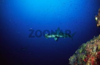 Bogenstirn-Hammerhai auch Indopazifischer Hammerhai