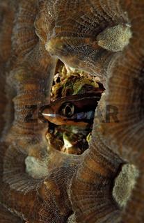 Blaustreifen-Saebelzahnschleimfisch, Bluestriped fangblenny, Plagiotremus rhinorhynchus, Sudan, Afrika,