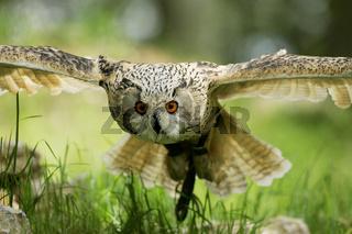Uhu, Bubo bubo, Eagle Owl, Europe, middle-Europe, Europa, Mitteleuropa