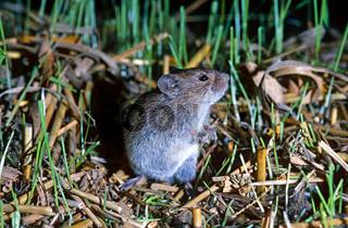 Feldmaus / Microtus arvalis / Common vole
