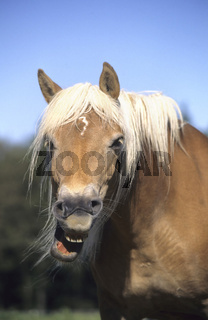 Haflinger, lustiges foto, witzige tierfotos, funny animal pictures