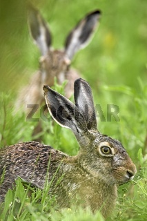 Europaeischer Feldhase, European Brown Hare