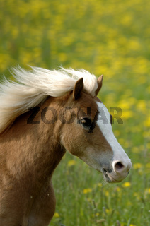 Welsh Pony Galopp mit wehender Mähne