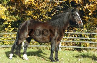 Welsh Pony Pferde