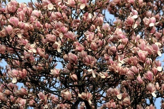 Magnolienbaum, Niederrhein, Deutschland