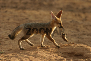 cap fox cub carrying striped mouse