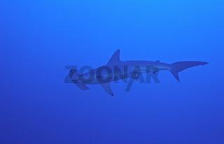 Gekerbter Hammerhai