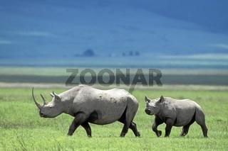 Rhinocerus, Nashorn