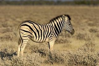 Zebra, Equus quagga