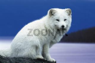 Eisfuchs, Polarfuchs / Arctic Fox / Alopex lagopus