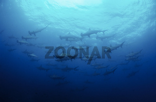 Bogenstirn Hammerhaie