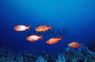 Grossaugenbarsche, Priacanthus hamrur, Aegypten, Rotes Meer