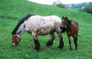 Kaltblutpferd / Coldblood (Heavy) Horse