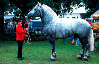Spanischer Bretone, Kaltblut, Spanish Bretone Heavy Horse