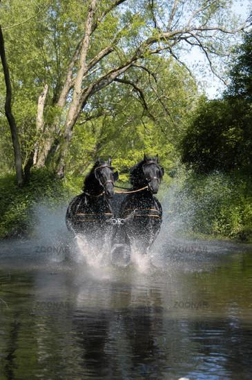 Friesian Horse / Friesenpferd