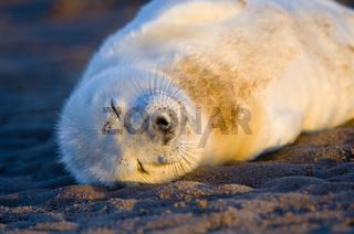Kegelrobben / Grey Seal / Halichoerus grypus