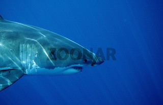 Weisser Hai, Charcharodon charcharias, Great White shark, Australien, Australia